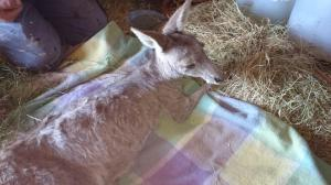 """Charli"" sadly euthanised after unsuccessful rehabilitation."