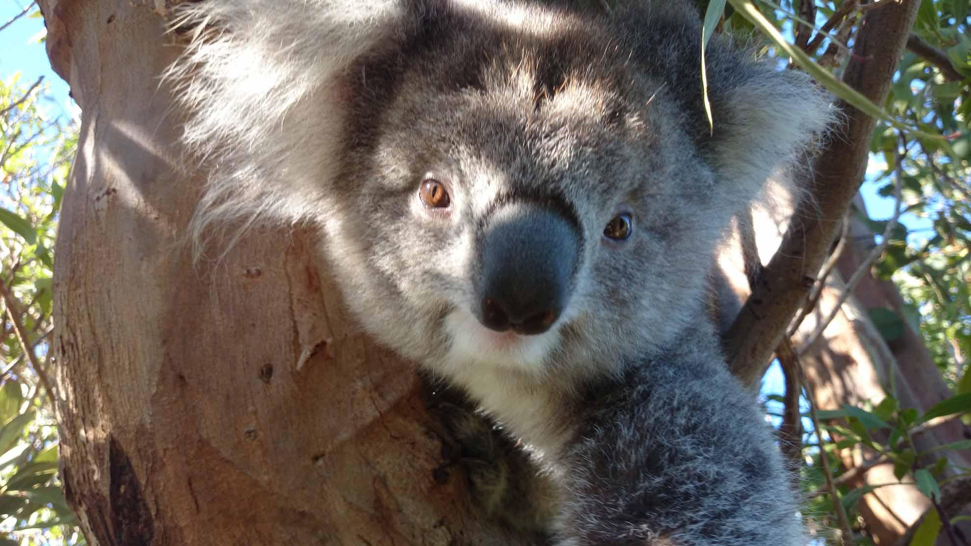 Have you seen a more photogenic Koala?