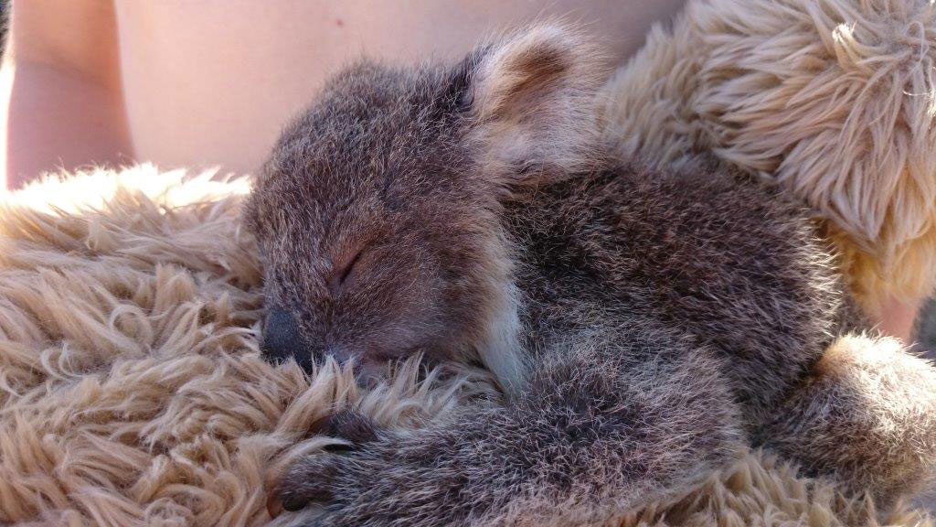 Koala joey that died just 5 months old
